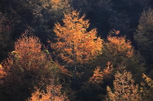 11月 紅葉の高ボッチ高原 -信州の高原-(壁紙用)の写真素材 [FYI04746620]