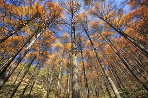 11月 紅葉の高ボッチ高原(壁紙用) -信州の高原-の写真素材 [FYI04746626]