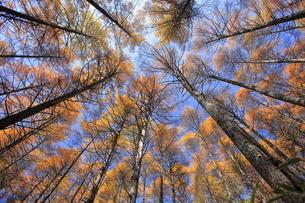 11月 紅葉の高ボッチ高原(壁紙用) -信州の高原-の写真素材 [FYI04746627]