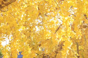 11月 壁紙用のイチョウの落葉の写真素材 [FYI04746648]