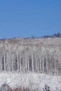 吹雪の後のカラマツ林と青空の写真素材 [FYI04746722]