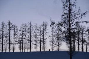 冬の夕暮れの丘のカラマツ並木の写真素材 [FYI04746730]
