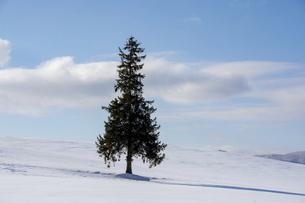 雪原に立つマツの木の写真素材 [FYI04746732]