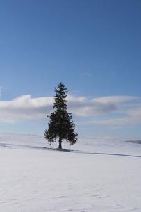 雪原に立つマツの木の写真素材 [FYI04746733]