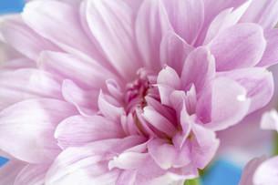 青背景のピンクのキクの写真素材 [FYI04746738]