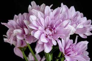 黒背景のピンクのキクの写真素材 [FYI04746739]