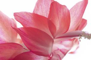 赤いサボテンの花のクローズアップの写真素材 [FYI04746741]