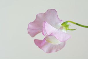 白背景のピンクのスイートピーの写真素材 [FYI04746742]