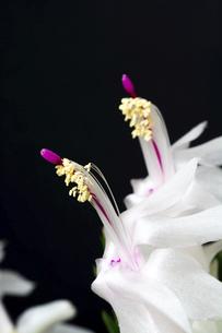 黒背景の白いサボテンの花のクローズアップの写真素材 [FYI04746745]