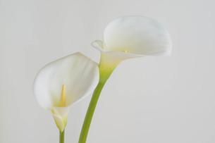 白背景の白いオランダカイウの写真素材 [FYI04746746]