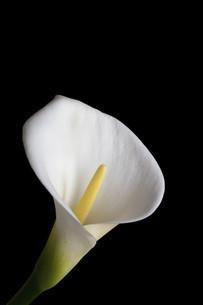 黒背景の白いオランダカイウの写真素材 [FYI04746748]