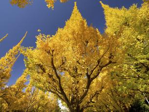 東京都 神宮外苑のイチョウ並木の写真素材 [FYI04747074]