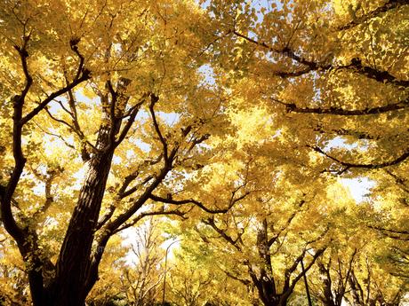 東京都 神宮外苑のイチョウ並木の写真素材 [FYI04747076]