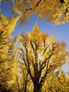 東京都 神宮外苑のイチョウ並木の写真素材 [FYI04747078]