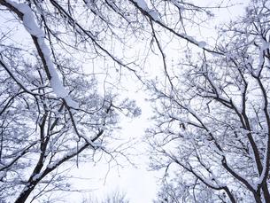 雪の積もった枝の写真素材 [FYI04747266]