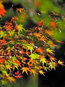 日本 紅葉写真の写真素材 [FYI04747302]