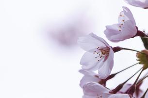 桜の花の写真素材 [FYI04747360]