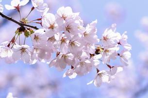 桜の花の写真素材 [FYI04747362]