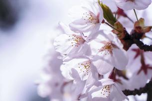 桜の花の写真素材 [FYI04747363]