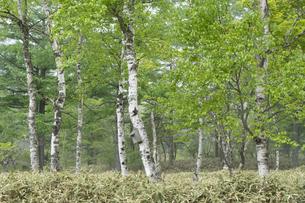 新緑の白樺林の写真素材 [FYI04747400]