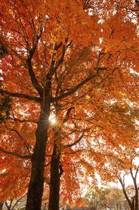 下から見上げた紅葉した樹の写真素材 [FYI04747475]