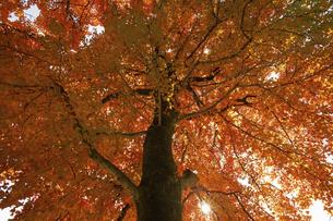 下から見上げた紅葉した樹の写真素材 [FYI04747476]
