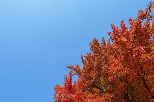 紅葉と青空の写真素材 [FYI04747478]