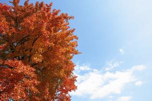 紅葉と青空の写真素材 [FYI04747479]