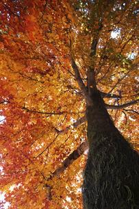 下から見上げた紅葉した樹の写真素材 [FYI04747480]
