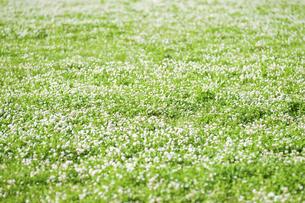 シロツメクサの花畑の写真素材 [FYI04747536]