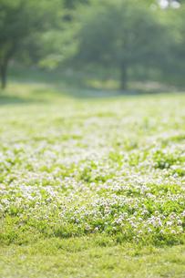 シロツメクサの花と樹々の写真素材 [FYI04747543]