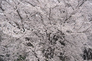 桜の写真素材 [FYI04747664]