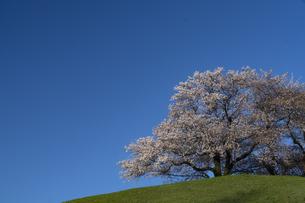 さきたま古墳 桜の写真素材 [FYI04747675]
