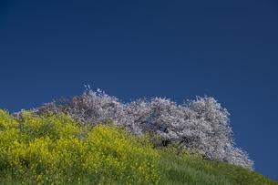 さきたま古墳 菜の花と桜の写真素材 [FYI04747676]