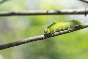 オオムラサキ幼虫の写真素材 [FYI04747679]