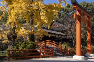 下鴨神社 鳥居と銀杏の写真素材 [FYI04747797]