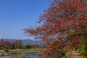 賀茂川と桜並木の紅葉の写真素材 [FYI04747810]