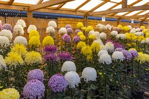 菊花展の写真素材 [FYI04747827]