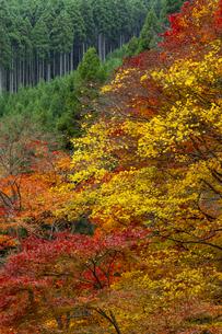 北山杉と色とりどりの紅葉の写真素材 [FYI04747846]