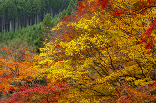 北山杉と色とりどりの紅葉の写真素材 [FYI04747849]