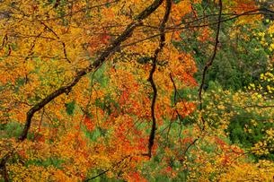 枝垂れる紅葉の写真素材 [FYI04747858]