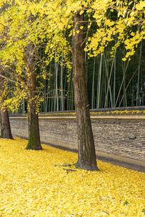 土塀と銀杏の落葉の写真素材 [FYI04747860]