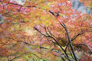 紅葉した樹の写真素材 [FYI04748121]