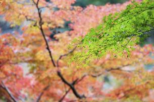 紅葉した樹と新緑の葉の写真素材 [FYI04748122]