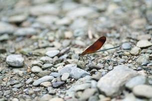 河原の石に止まるミヤマカワトンボの写真素材 [FYI04748136]