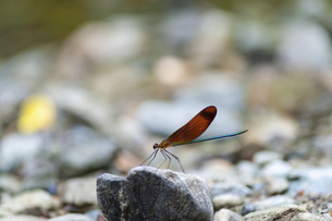 河原の石に止まるミヤマカワトンボの写真素材 [FYI04748137]