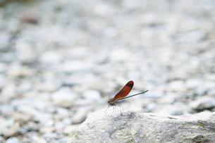 河原の石に止まるミヤマカワトンボの写真素材 [FYI04748138]