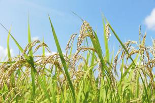 稲の写真素材 [FYI04750711]