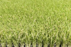 稲の写真素材 [FYI04750744]