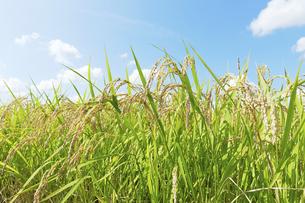 稲の写真素材 [FYI04752157]